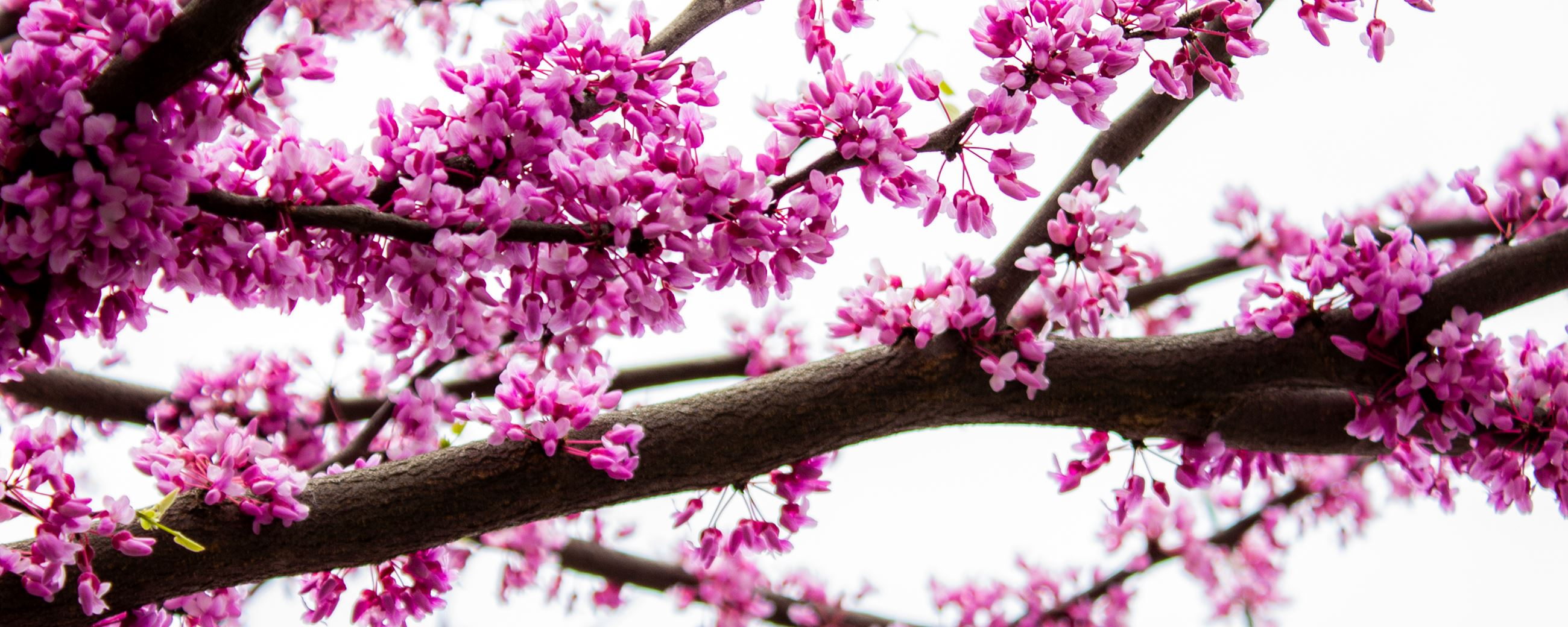 "Columbus is known as ""the Redbud City."""